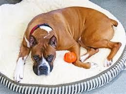 boxer dog rescue boxer dog art work allboxerinfo