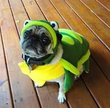 Turtle Halloween Costume Cute Pug Turtle Halloween Costume Funny Jasper Fun Dog