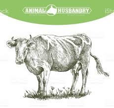 sketch of cow drawn by hand livestock cattle animal grazing stock