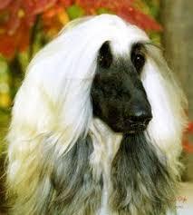 afghan hound coat colors afghan hound dog breed information afghan hound and dog breeds