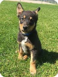 australian shepherd australian cattle dog mix clovis nm australian shepherd poodle toy or tea cup mix meet