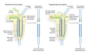 what is crispr cas9 and why is it suddenly everywhere motherboard