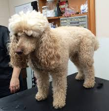 poodles long hair in winter haircuts pet motel and salon