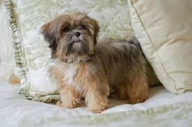 shih poo haircuts shorkie shorkie poo tlc puppy love