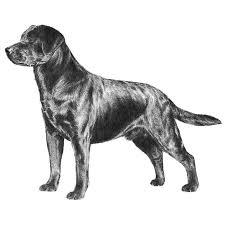 american eskimo dog growth chart labrador retriever dog breed information american kennel club