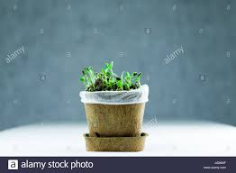 organic new born sunflower sprouts growing on black soil in a pot