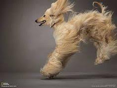 afghan hound breeders new york capt barff u0026 zardin afghan hound pinterest afghan hound
