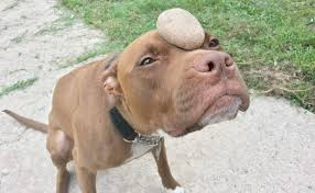 Blind Dog And Friend Pit Bull And His Rock Prove That Love Really Is Blind