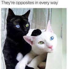 19 white cat memes quoteshumor com