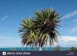 native nz plants native new zealand cabbage tree cordyline australis timaru