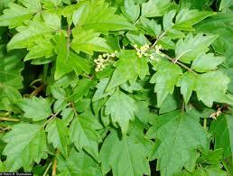 plants native to new mexico plants profile for nekemias arborea peppervine