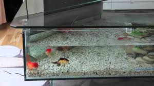 Crystal Coffee Table by Oranda And Fantail Fancy Goldfish In A Crystal Clear 18 Gallon