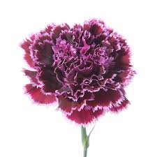 Wedding Flowers January 17 Best Carnations Images On Pinterest Pink Carnations Types Of