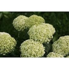 hydrangea flowers proven winners 3 gal invincibelle limetta smooth hydrangea live