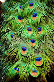 peacock feathers close up phoenix zoo peacock pinterest