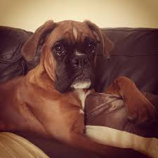 1 year old boxer dog marbleton boxer for sale 1 year old preston lancashire