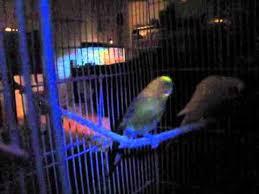 uv light for birds budgies under black light ultraviolet glow in the dark youtube