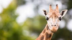 could a giraffe do a backflip odd animal behavior that could