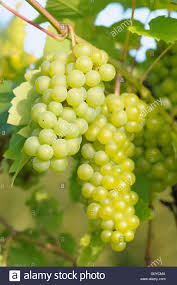 grape vine vitis vitis u0027seyval blanc u0027 beauty in nature climber