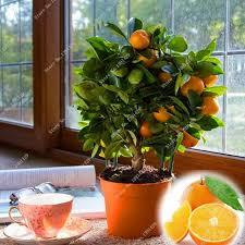 dwarf edible fruit bonsai seeds mandarin citrus orange seeds