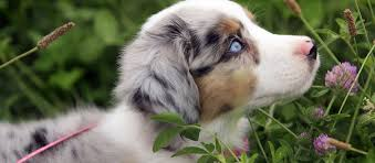 australian shepherd puppy miniature australian shepherd puppies for sale in ga