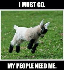 Totes Magotes Meme - 35 most funny goat meme pictures and images