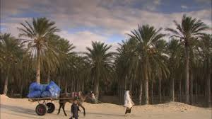 date palm palm tree grove tunisia hd stock 732 610 465