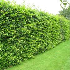 hedging plants budget wholesale nursery hornbeam hedging plants carpinus betulus hedge plants first