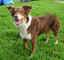 australian shepherd lab mix for sale australian shepherd wikipedia