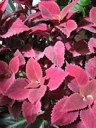 coleus to grow indoors state by state gardening enewsletter