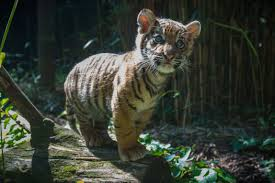 home interior tiger picture national zoo sends tiger cub to san diego wtop