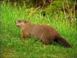 Vermont wild animals images Woodchucks groundhogs i hate pinterest vermont and alaska jpg