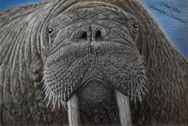 beautiful creatures grayscale coloring book walrus coloring