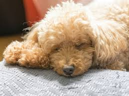 canine hypoglycemia a lack of sugar in the body