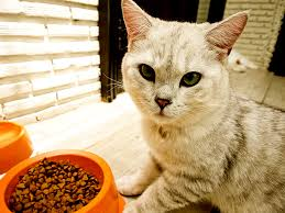 do prescription cat food diets really work catster