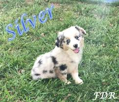 7 week old australian shepherd weight view ad miniature australian shepherd puppy for sale texas