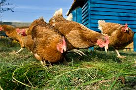 Can I Raise Chickens In My Backyard The 10 Mistakes Of Raising Chickens The Readyblog