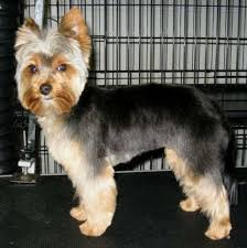 yorkie hairstyles yorkie haircut exles hairstyles for male yorkies tuny for