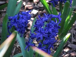 Hyacinth Flower Hyacinths