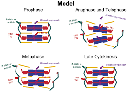 sequential myofibrillar breakdown accompanies mitotic division of
