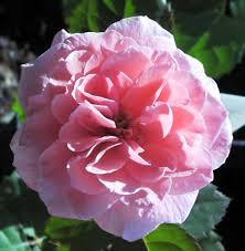 www roses com