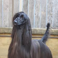afghan hound kennel in australia breathtaking dog has competed in shows her whole life now she u0027s