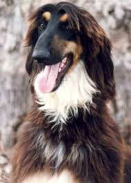 afghan hound sale just how many u0027yellow eyebrow dogs u0027 are there anyways doberman