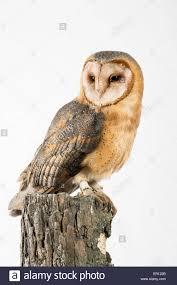 barn owl on tree perch stock photo royalty free image