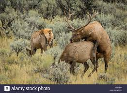 Wyoming national parks images Elk mating yellowstone national park wyoming stock photo jpg