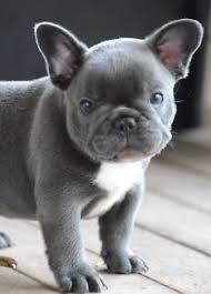 afghan hound breeders qld queensland dogs u0026 puppies gumtree australia free local classifieds