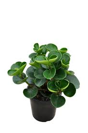 80 best plants images on pinterest houseplants cheese plant and