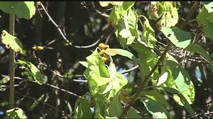 native plants of massachusetts bittersweet taking over native plants in western massachusetts