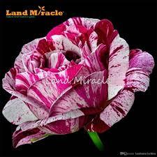 gorgeous climbing rose flower bush 50 seeds home yard garden