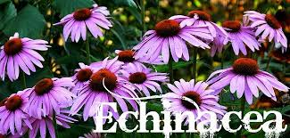 Echinacea Flower Echinacea How To Grow And Use This Powerful Antibiotic And Immune